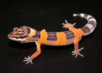 Mon ptit gecko Image029_0000